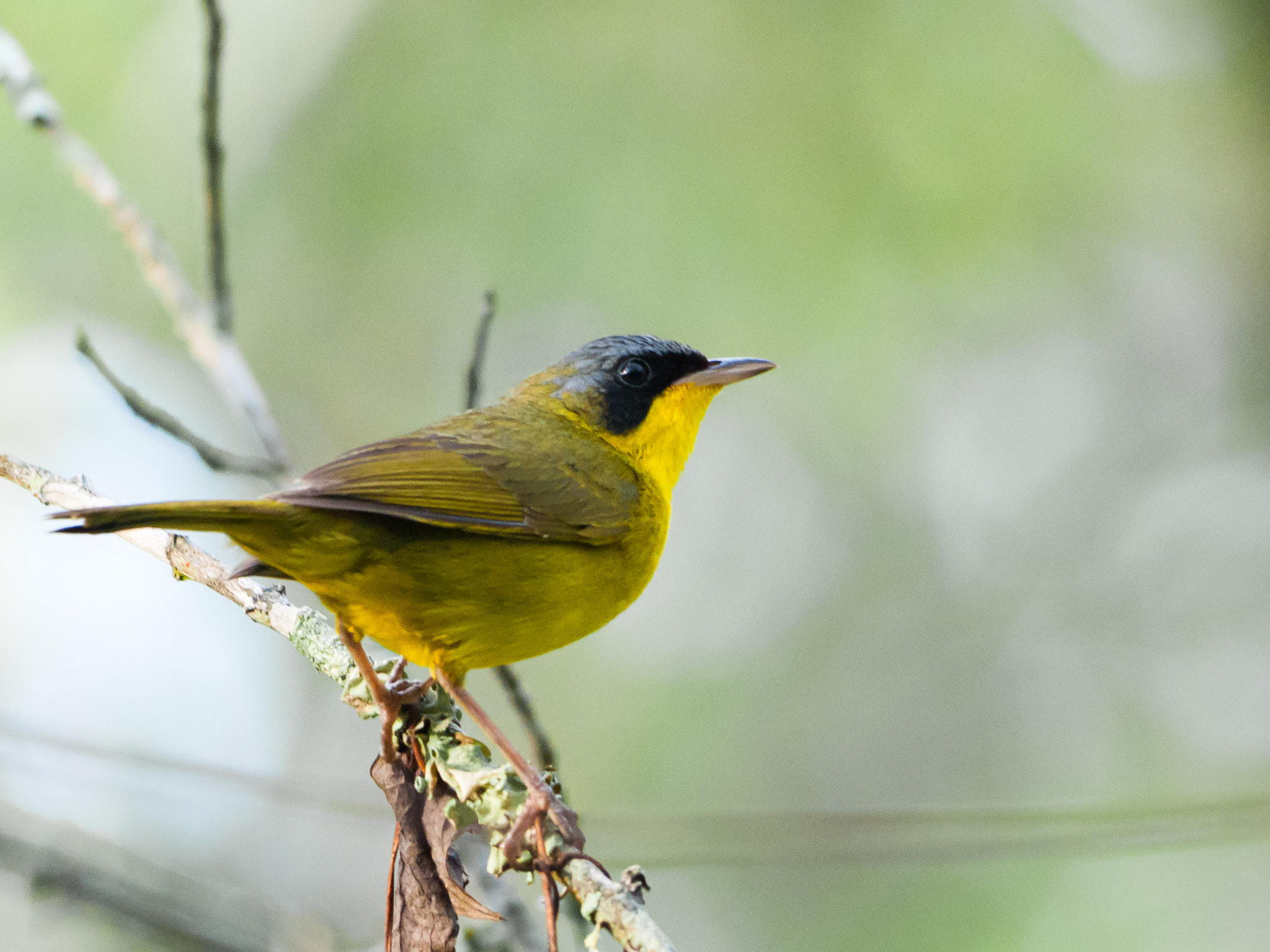 Photograph Masked Yellowthroat by Luiz Carlos Verissimo on 500px