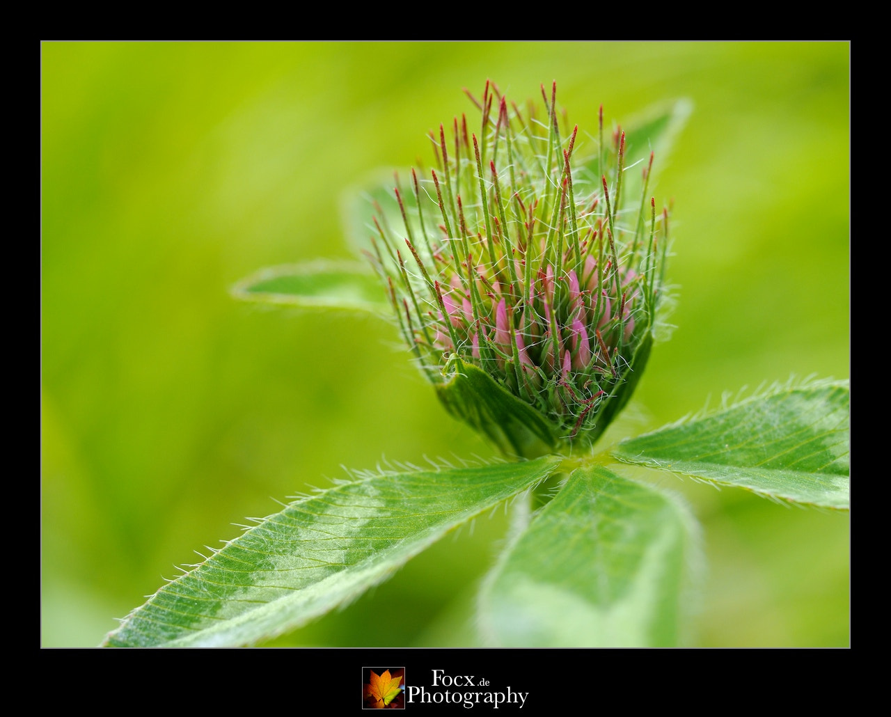 Photograph Young clover blossom by Christoph Rupprecht on 500px