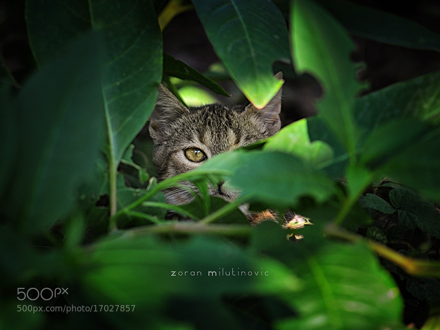 Photograph Spying cat by Zoran Milutinovic on 500px