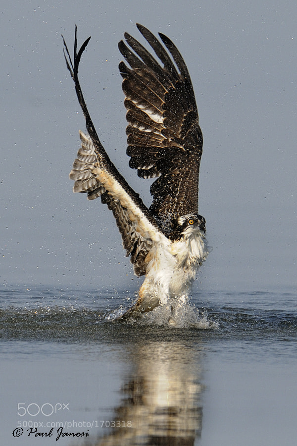 Photograph Osprey by Paul Janosi on 500px
