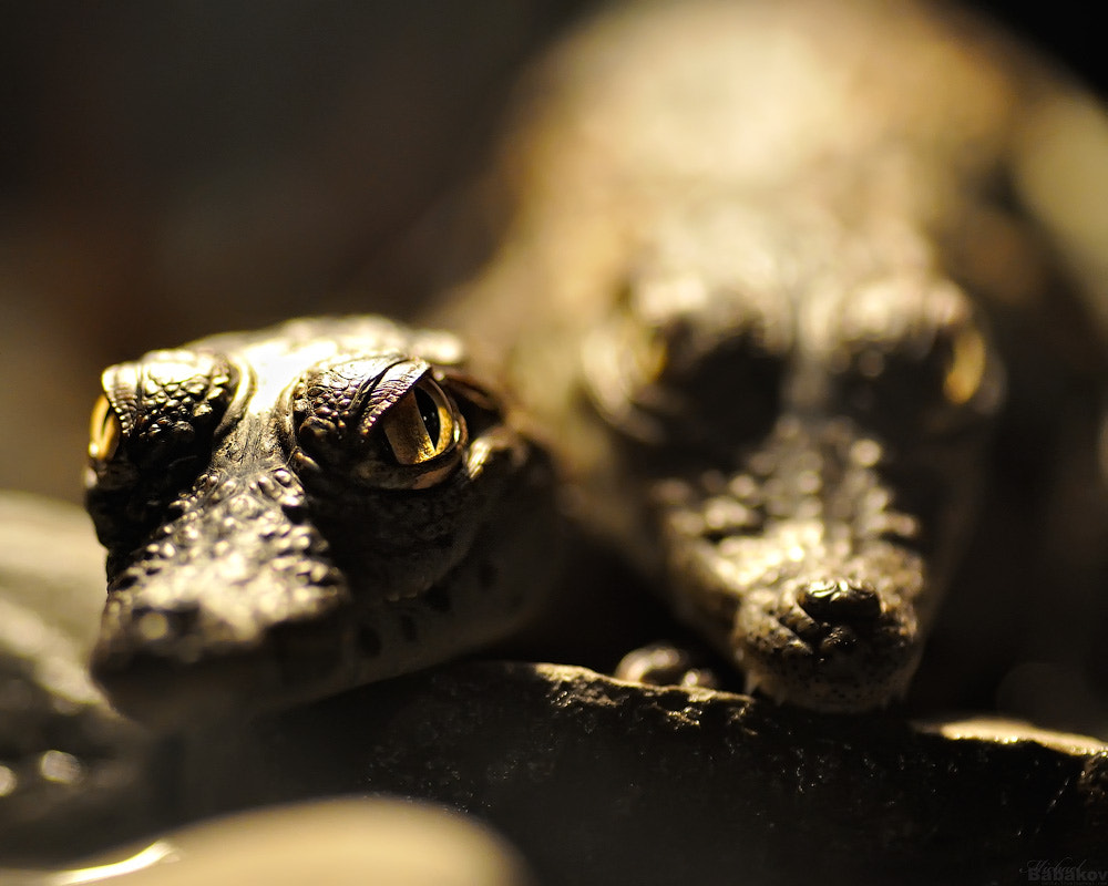 Photograph Сrocodile looking by Michael Babakov on 500px