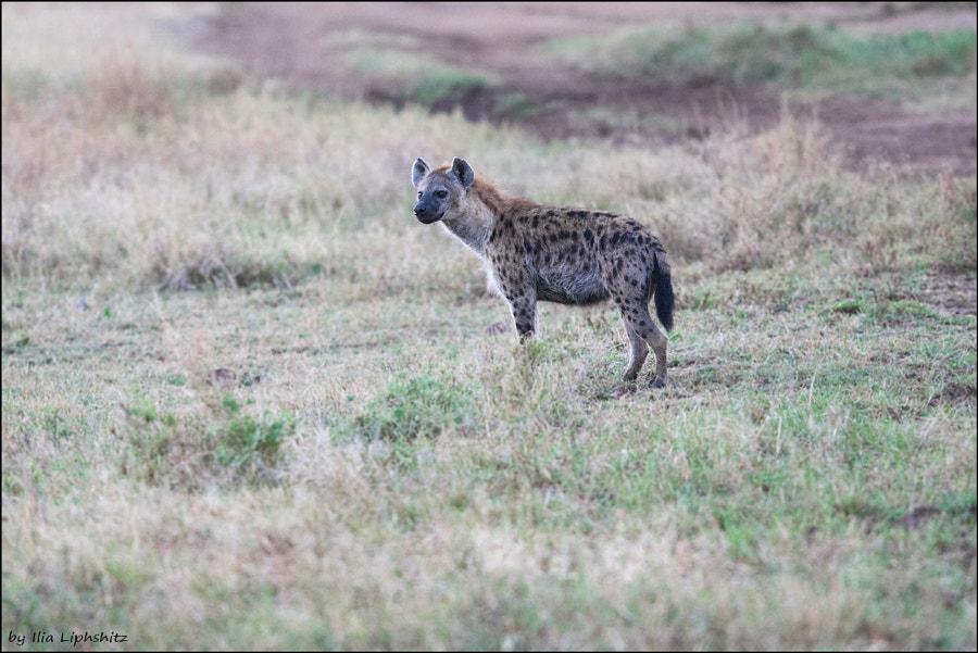 The morning hyena -Hyenas of Serengeti №2