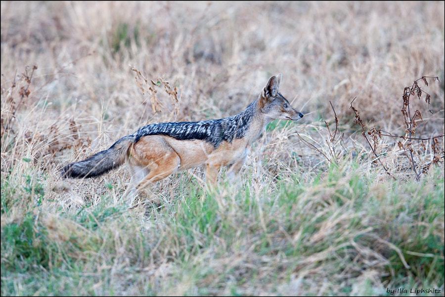 The jackal just smelled a breakfast - Jackals of Serengeti №1