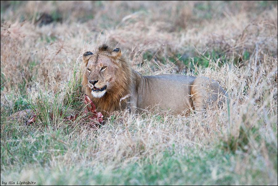 Lions of Serengeti №10