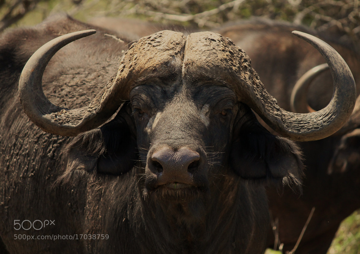 Photograph The Buffalo look by Mark Jones on 500px