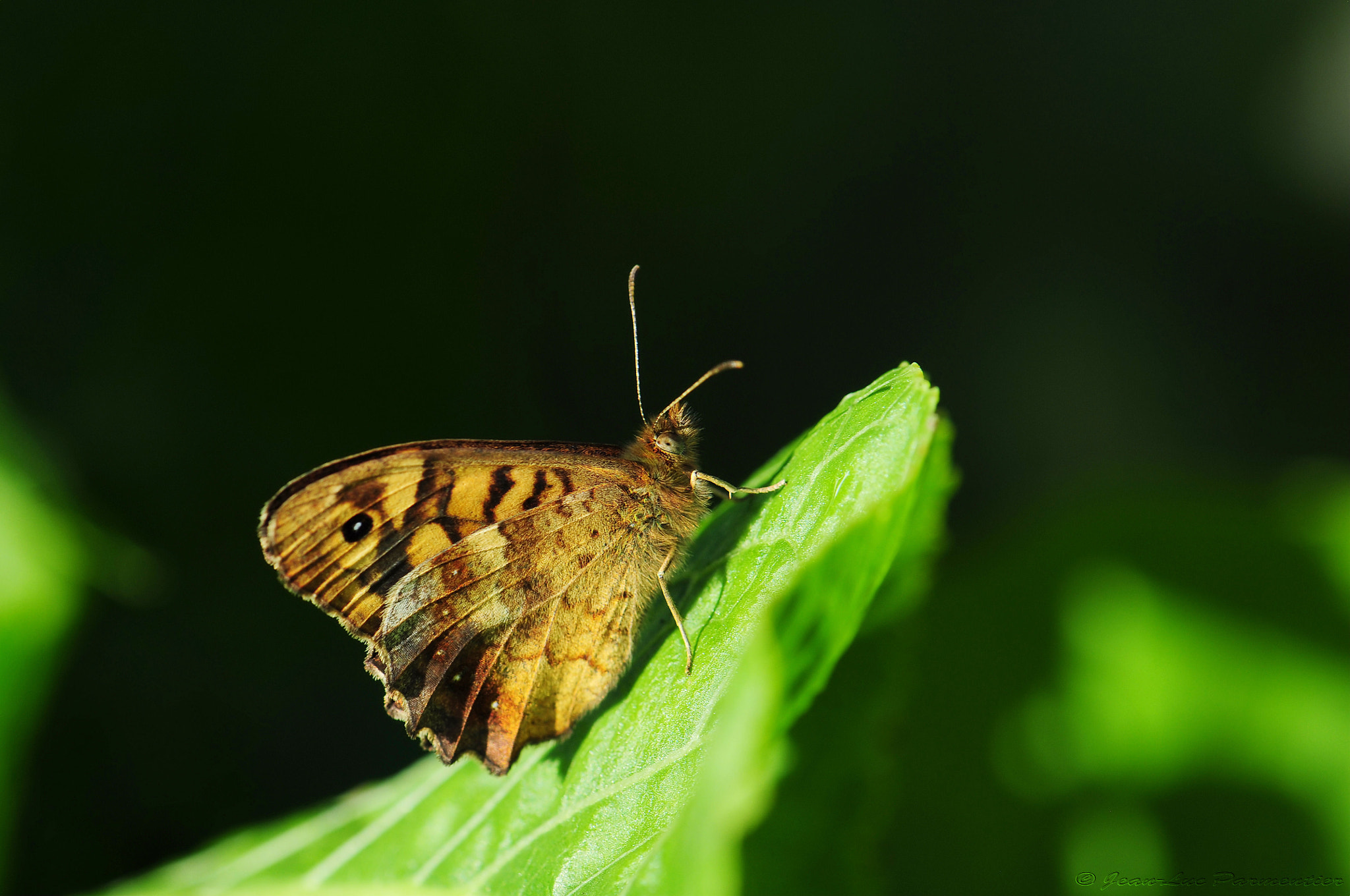 Photograph Butterfly of profile by Jean-luc Parmentier on 500px