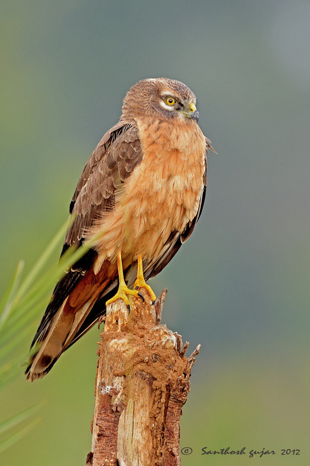 Photograph The Morning Lady-- Montagus Harrier Female by Santhosh Gujar on 500px