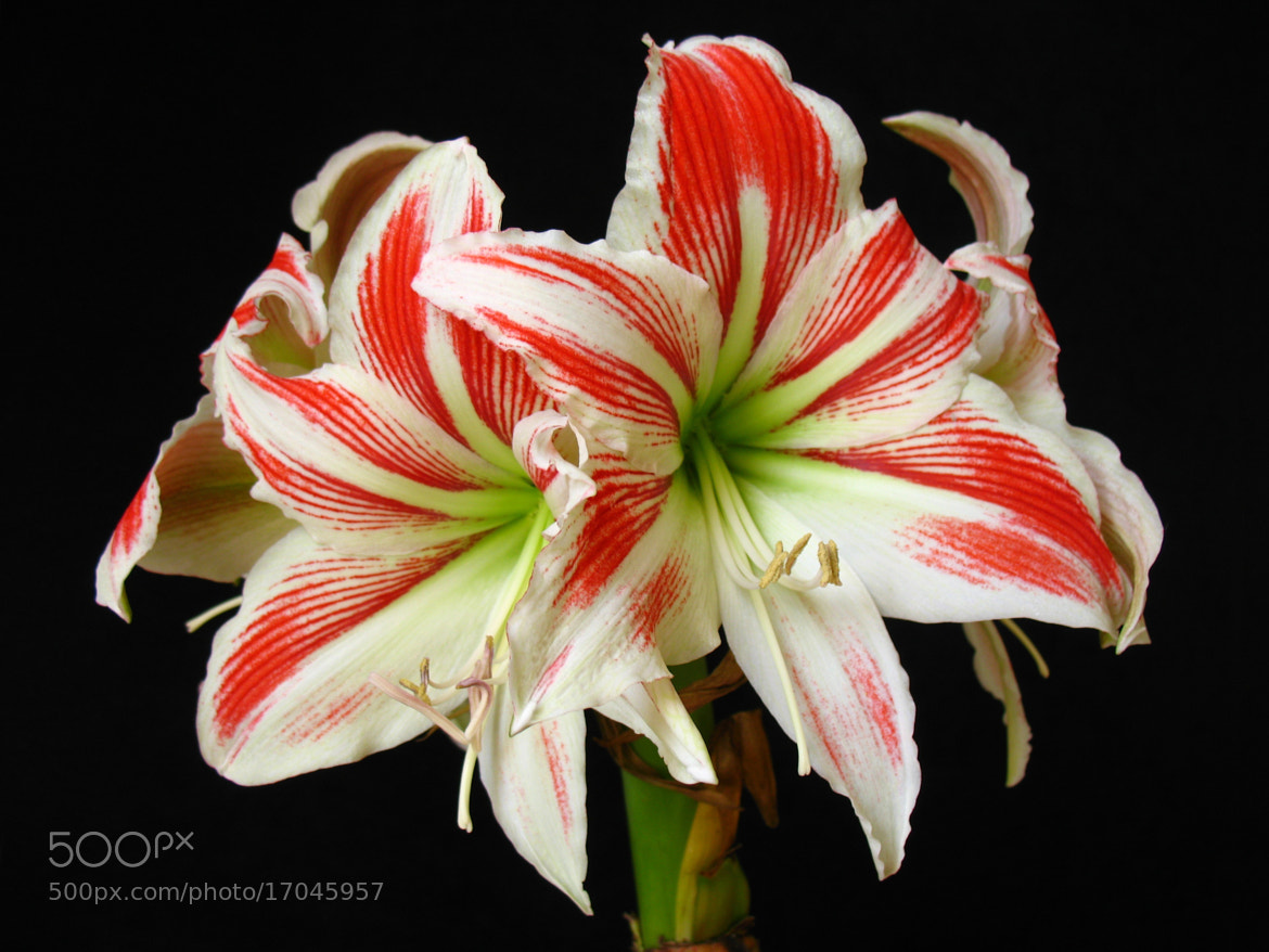 Photograph Hippeastrum by ali kangal on 500px