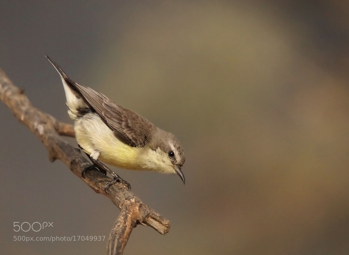 Photograph Nile valley sunbird by ammadoux on 500px