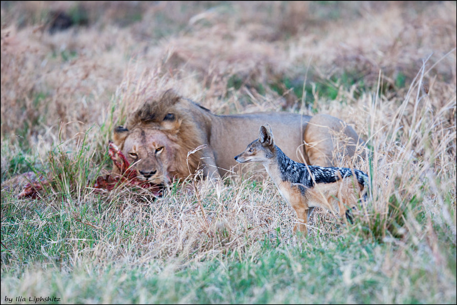 The jackal is trying to steal some meat from the lion - Jackals of Serengeti №2
