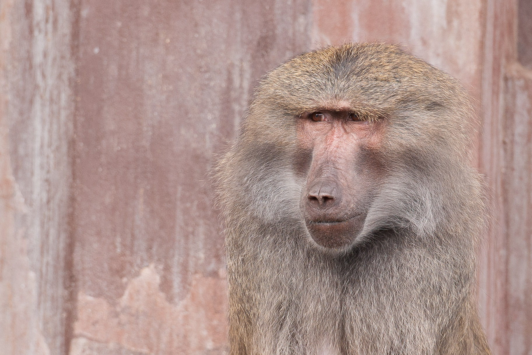 Photograph Baboon by Jan Brandt Madsen on 500px
