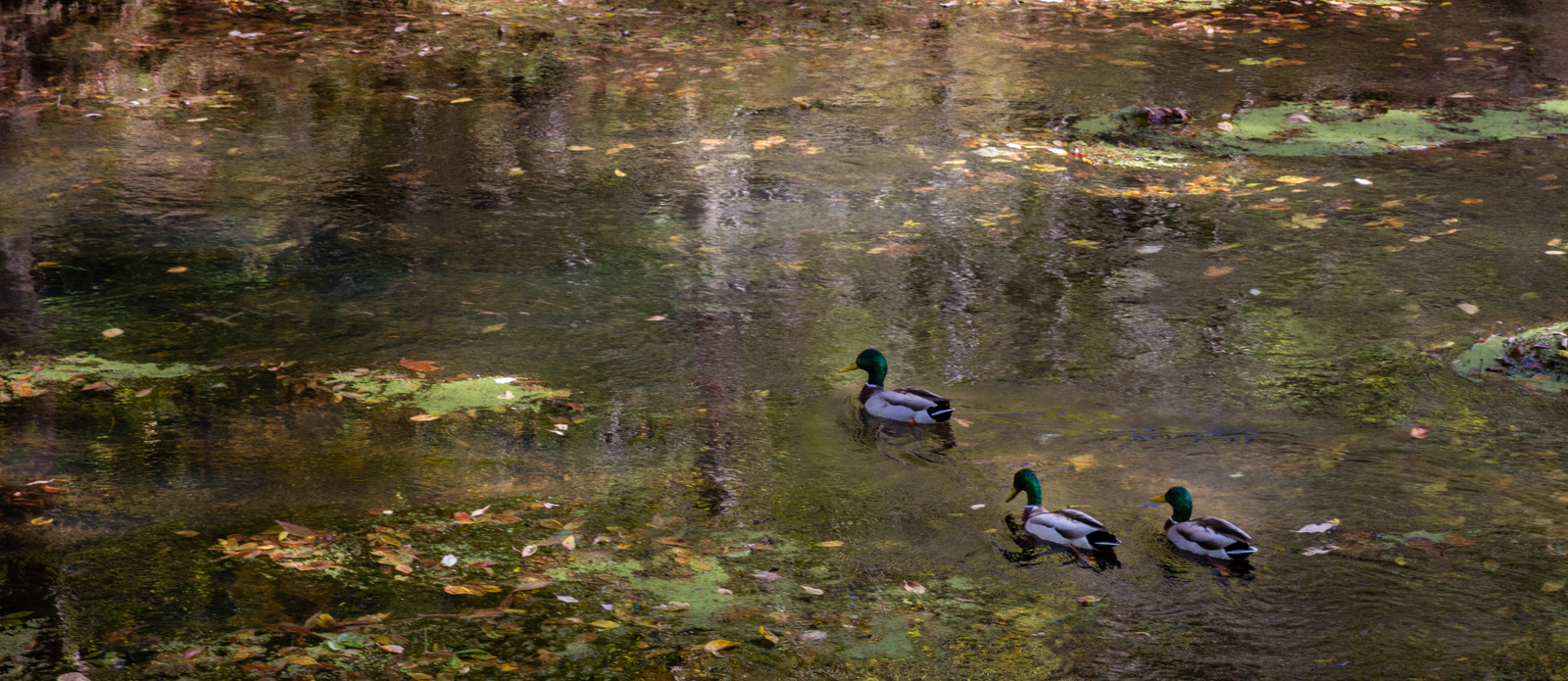 Photograph Ducks on the C&O canal by Mark Samols on 500px