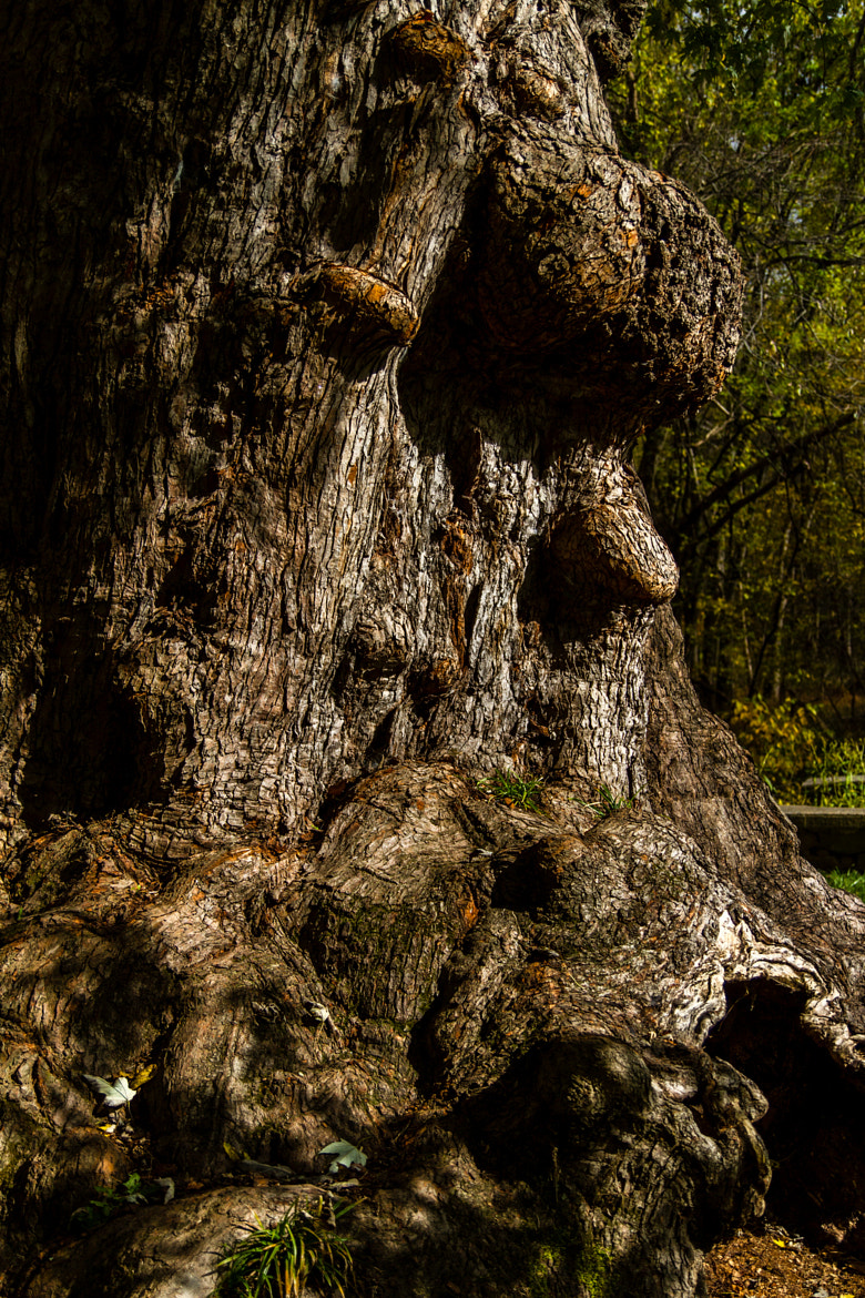 Photograph C&O canal oak by Mark Samols on 500px