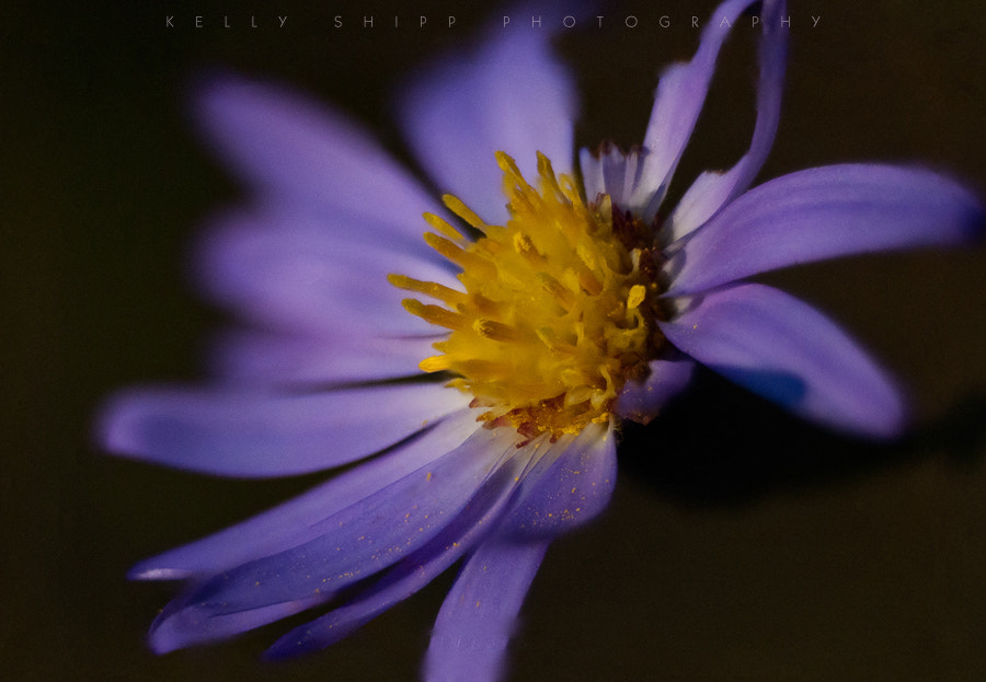 Photograph Blue Aster detail. by Kelly Shipp on 500px