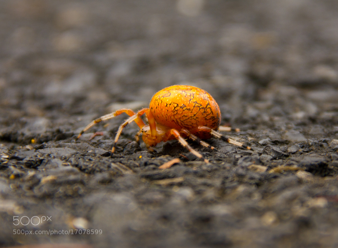 Photograph fat orange spider by Matthew Thomas on 500px
