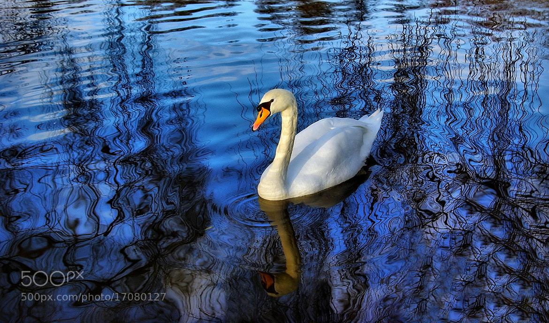 Photograph SWAN - DESIGN by Kersten Studenski on 500px