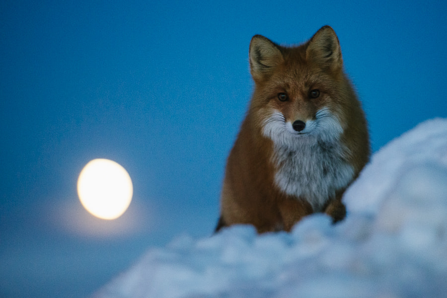 Photograph Fox on the background of the rising moon. by Ivan Kislov on 500px