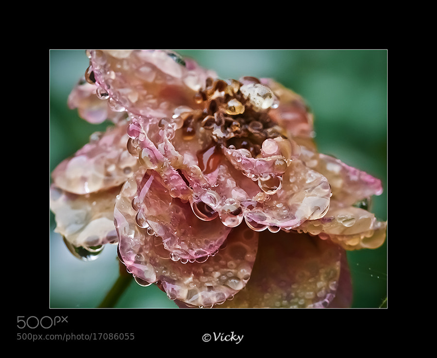 Photograph last rose by Vicky Dens on 500px