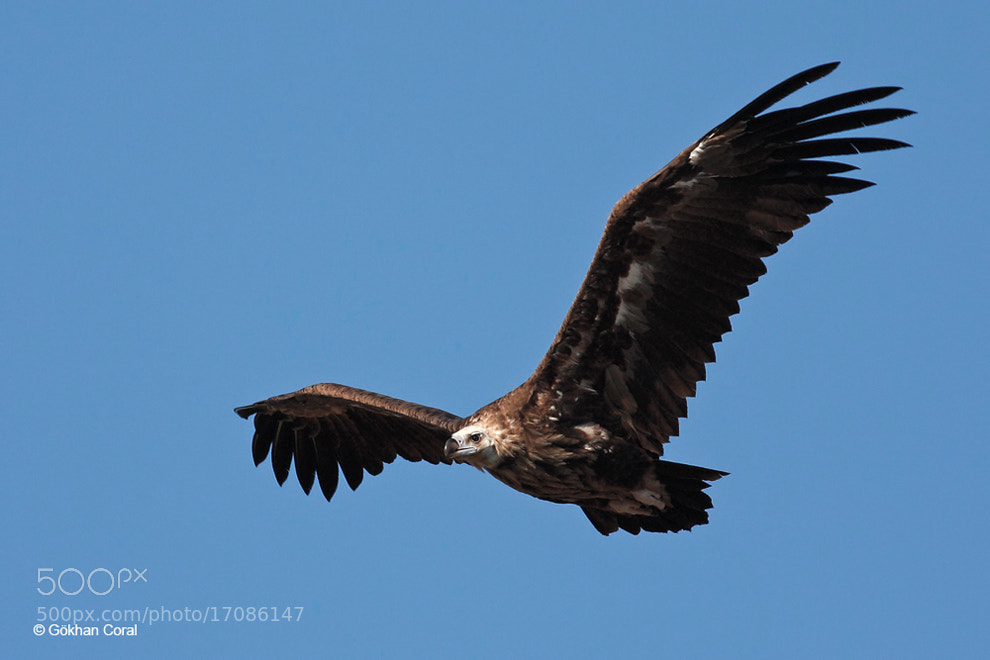 Photograph  Cinereous vulture by Gökhan CORAL on 500px