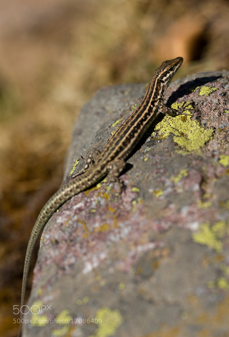 Photograph Resting lizard by Christian Cadéré on 500px