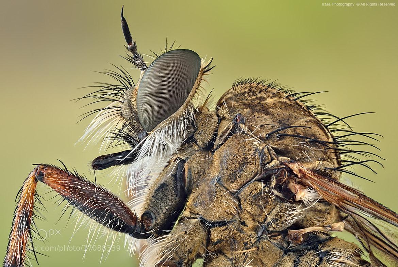 Photograph Robber Fly. by ireneusz irass walędzik on 500px