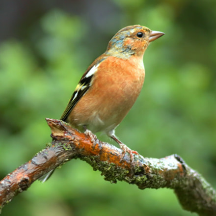 Chaffinch in the rain, Canon EOS 7D MARK II, Canon EF 100-200mm f/4.5A