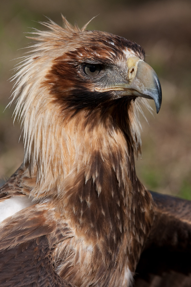 Photograph Wedge Tail Eagle by Alan McIntosh on 500px