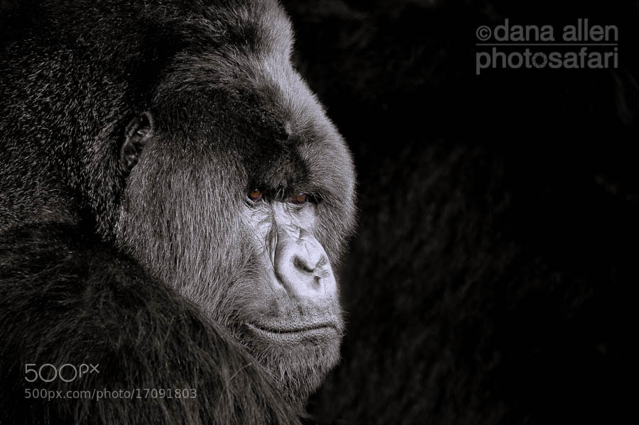 Photograph Virunga Silverback   by Dana Allen on 500px