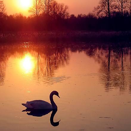 Swan in sunset, Sony DSC-S40