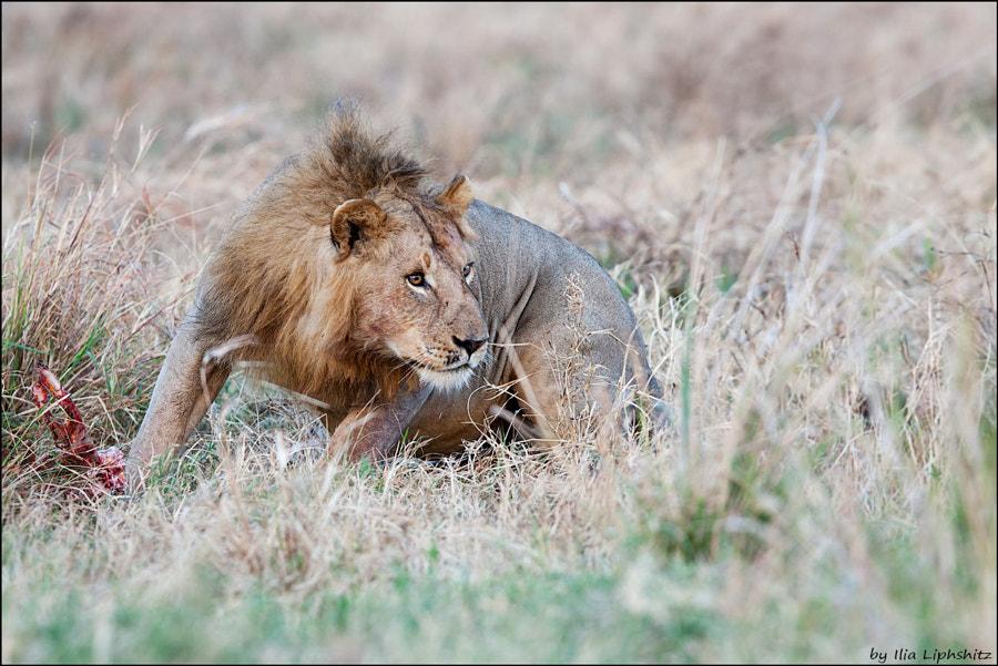 Lions of Serengeti №11