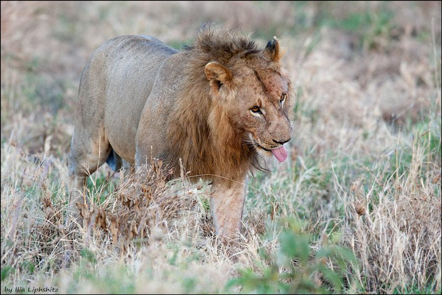 Lions of Serengeti №12