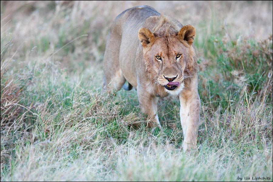 Lions of Serengeti №13