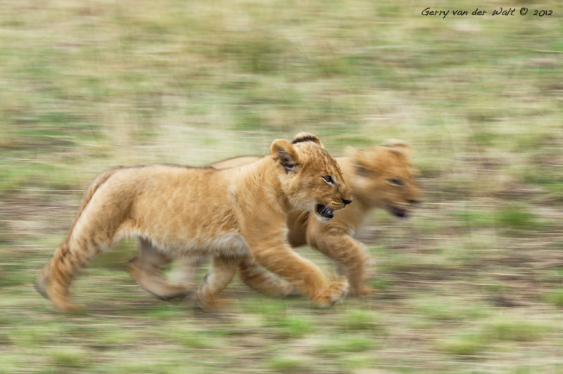 Photograph Moving in the Mara by Gerry Van der Walt on 500px