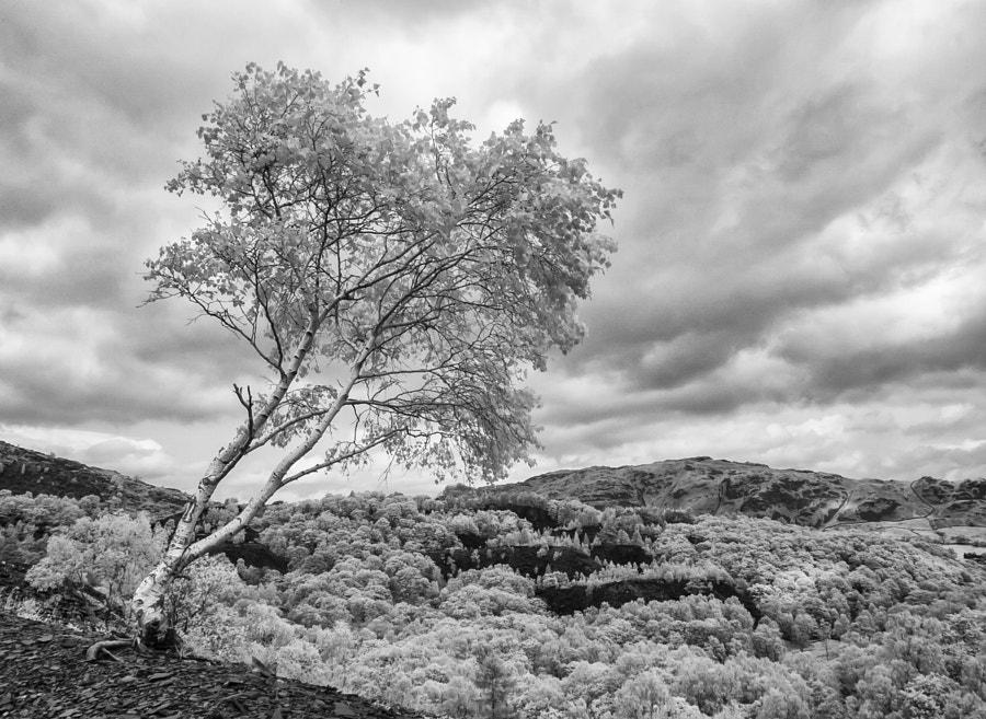 Lone tree at Hodge Close