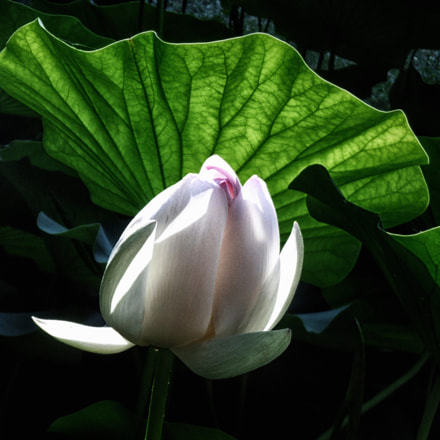 White lotus, Panasonic DMC-SZ8