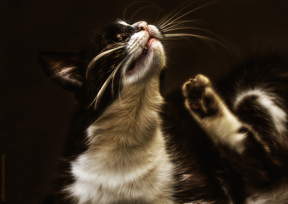 Photograph Charming  cat with big whiskers scratching himself by Eleonora Di Primo on 500px