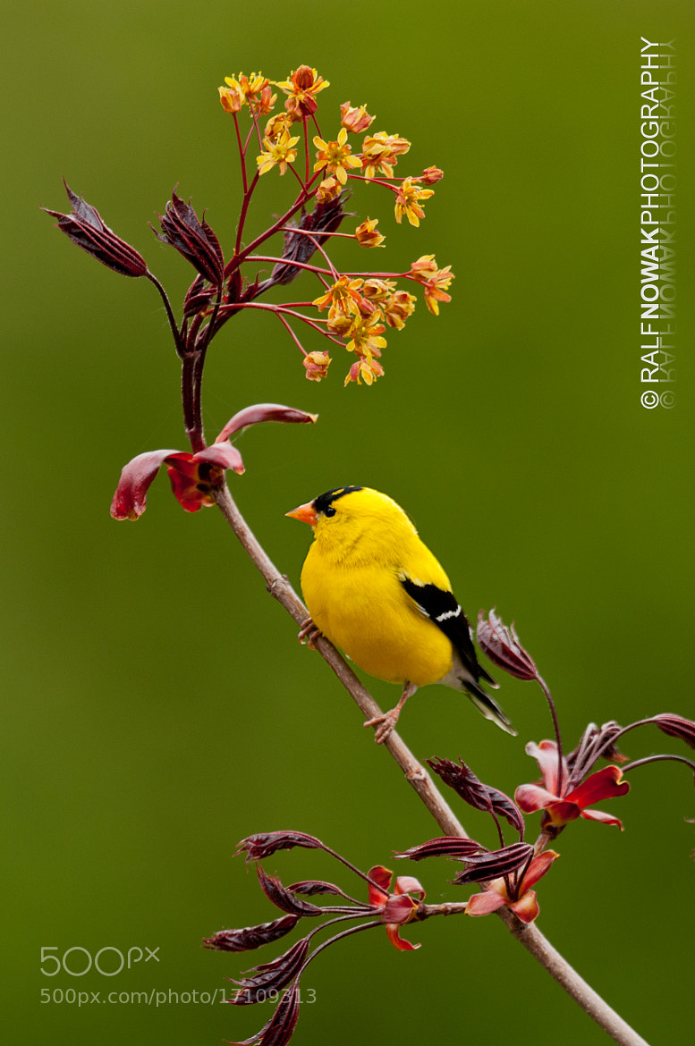Photograph American Goldfinch by Rafal Nowak on 500px