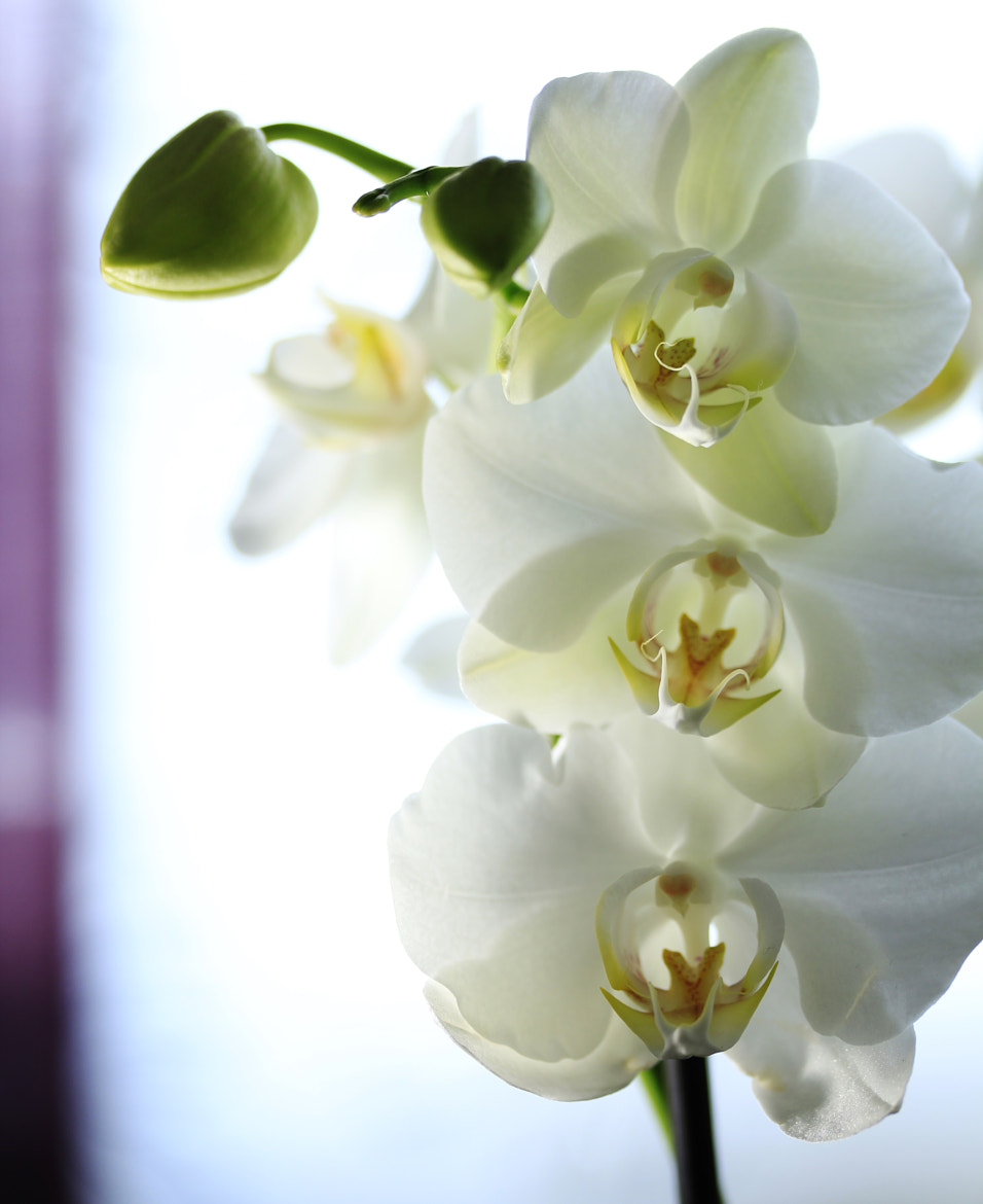 Photograph Orchid in the light by Essi Knaapi on 500px
