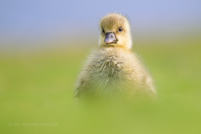 Photograph Greylag Goose gosling by Andrew Sproule on 500px