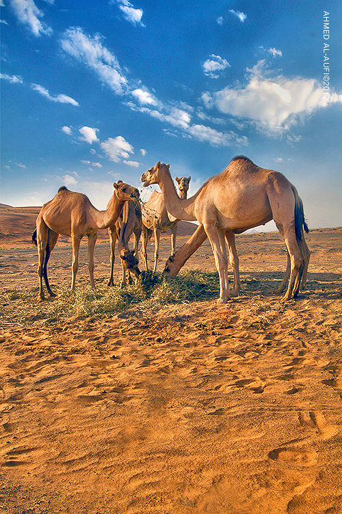 Photograph camels by AHMED AL-AUFI on 500px