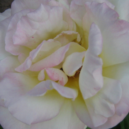 The old rose in, Canon POWERSHOT A470