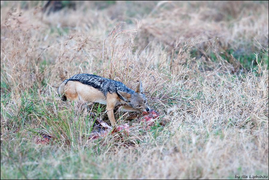 Jackals of Serengeti №3