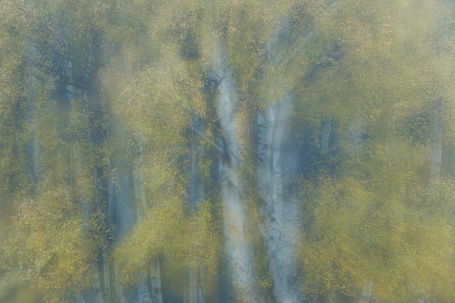 Photograph Silver birch impression by Mark Hamblin on 500px