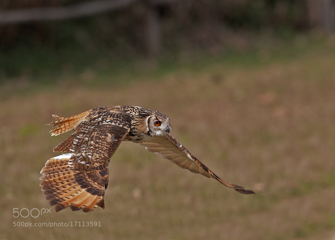 Photograph falconry, owl by riccardo lubrano on 500px