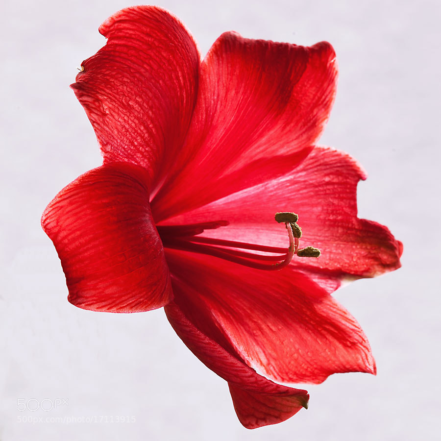 Photograph Flower by Sean van Tonder on 500px