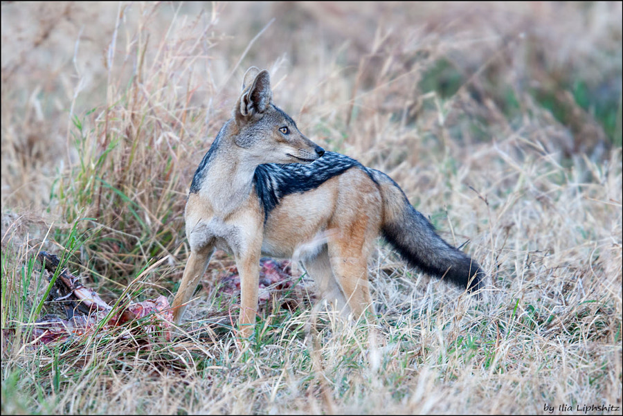 Jackals of Serengeti №4