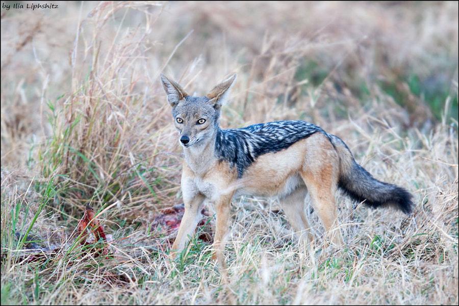 Jackals of Serengeti №5