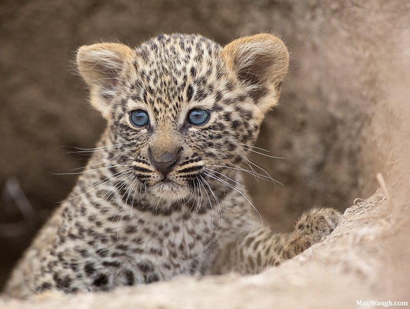 Photograph Salayexe's Cub by Max Waugh on 500px