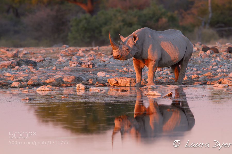 This was taken in Etosha, a black rhino which is a usually shy animal, made its way slowly doen to the water as the sun was setting behindme. This gave some lovely pink hues on the Rhino's skin.