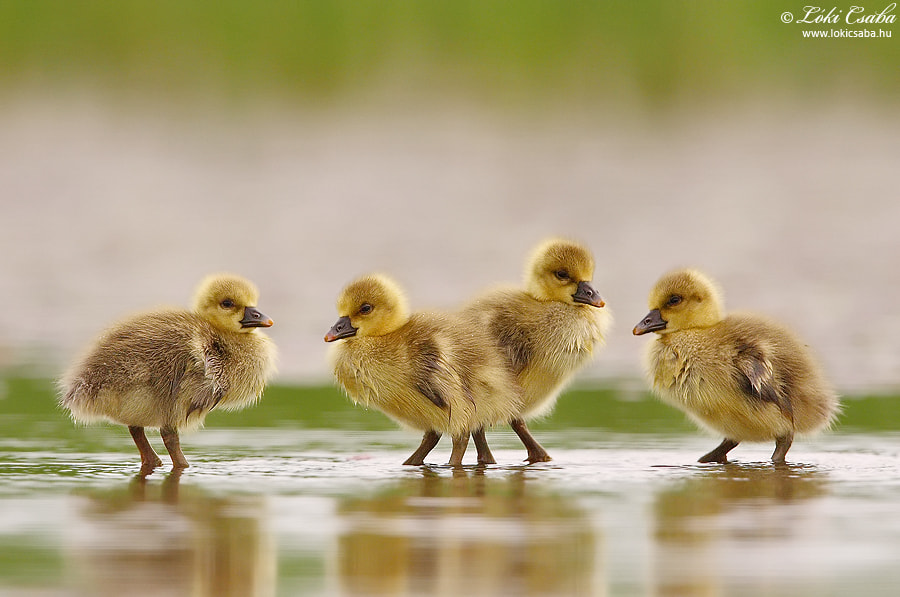 Photograph Young Greylag Geese by Csaba Lóki on 500px